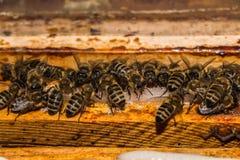 蜂,当哺养与在框架的蔗糖在蜂房时 库存照片