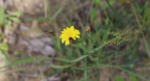 蜂,授粉,黄色花,外面 库存图片