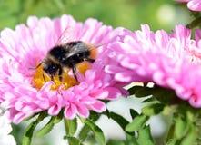 蜂,花,昆虫,宏指令,自然,花粉,蜂蜜,飞行,夏天,土蜂,动物,黄色,桃红色,庭院,绿色,植物,特写镜头, ne 免版税库存照片