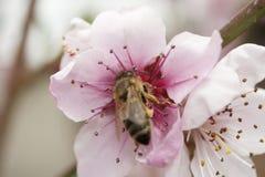 蜂从一朵桃红色桃子花收集花粉 免版税图库摄影