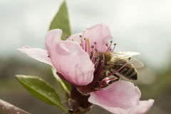 蜂从一朵桃红色桃子花收集花粉 图库摄影