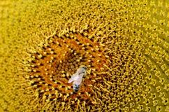 蜂从向日葵收集花粉 免版税库存照片