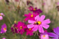 蜂从在ga的桃红色花四季不断的翠菊收集花粉 免版税库存照片