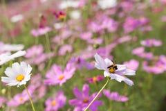 蜂从在ga的桃红色花四季不断的翠菊收集花粉 免版税图库摄影