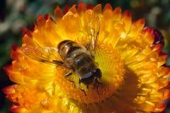 蜂从明亮的黄色花收集蜂蜜:与透明翼和大眼睛的一只镶边昆虫在中心坐的 免版税图库摄影