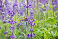 蜂从淡紫色收集花蜜 库存图片