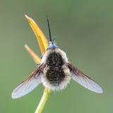 蜂虻科 库存图片