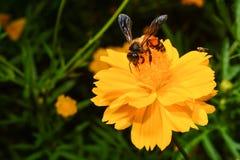 蜂从黄色花收集花蜜 免版税库存图片