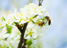 蜂从花樱桃李子收集花蜜 开花的雪儿 库存照片