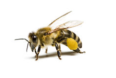 蜂 免版税库存照片