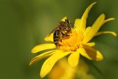 蜂& x28; Apis& x29;在花大丽花庭院& x28; 大丽花贾夫 & x29; 免版税库存图片