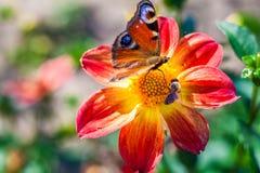 蜂n蝴蝶收集花蜜在美丽的花大丽花 抽象背景 空间在拷贝的,文本,您的词背景中 免版税库存照片