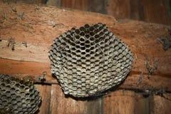 黄蜂polist大胡蜂巢 免版税库存照片
