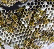 黄蜂polist大胡蜂巢 库存图片