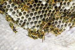 黄蜂polist大胡蜂巢 免版税库存图片