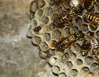 黄蜂polist大胡蜂巢 库存照片