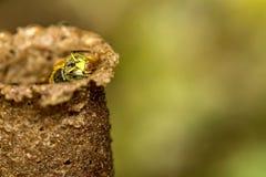 蜂Tetragonisca angustula殖民地宏观照片-蜂Jatai/Tetragonisca angustula 免版税图库摄影