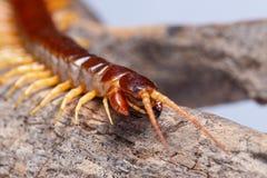蜈蚣特写镜头细节动物 免版税图库摄影