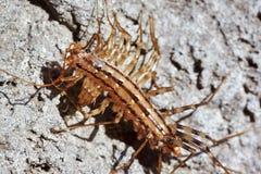 蜈蚣 免版税库存图片
