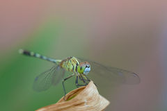 蜻蜓。宏指令,特写镜头射击 免版税库存照片