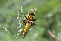 蜻蜓。 免版税图库摄影