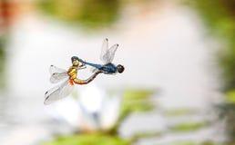 蜻蜓一前一后位置 免版税库存照片