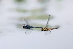 蜻蜓一前一后位置 图库摄影