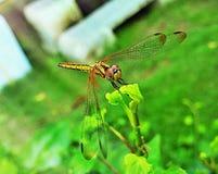 蜻蜓一点 库存图片