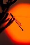 蜻蜓剪影 库存照片