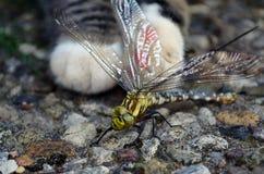 蜻蜓和猫 库存照片