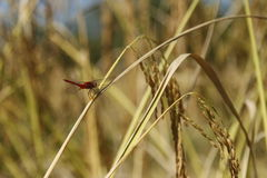 蜻蜓和米 免版税图库摄影
