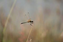蜻蜓和草花 库存图片