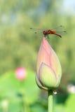 蜻蜓和莲花芽 免版税库存照片