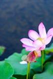蜻蜓和莲花芽 库存图片