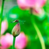 蜻蜓和莲花 免版税库存照片
