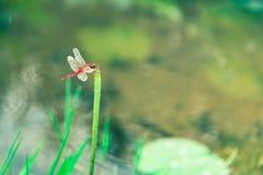蜻蜓和莲花 库存照片