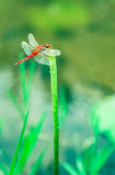 蜻蜓和莲花 免版税图库摄影