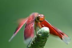 蜻蜓在庭院里 免版税库存图片