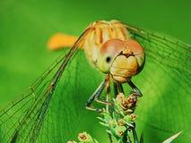 蜻蜓在庭院里 免版税库存照片
