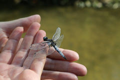 蜻蜓在手边 库存照片