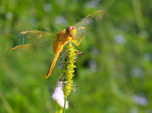 蜻蜓在泰国 图库摄影