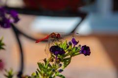 蜻蜓在花的公园 库存图片