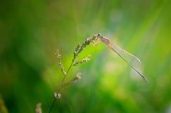 蜻蜓在紫色草花栖息有绿色背景 免版税库存照片