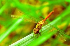 蜻蜓在绿草夏天 免版税库存图片
