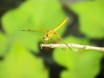 蜻蜓坐有的枝杈sunbath 库存照片