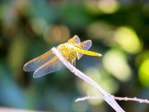 蜻蜓坐有的枝杈sunbath 免版税库存照片