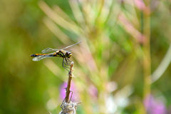 蜻蜓坐毛虫损坏的灌木的分支 免版税库存图片