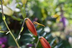 蜻蜓坐百合芽 图库摄影