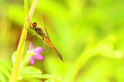 蜻蜓坐的分支 库存照片