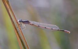 蜻蜓基于在美好的光的一根枝杈 库存照片